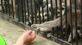 catta : NOVOSIBIRSK RUSSIA  MAY 9 2015: Man treats ringtailed lemurs Lemur catta corn sticks on may.9 in Novosibirsk ZOO