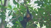 flying fox : Flying fox hangs on a tree branch and washes Stock Footage