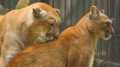 пантеры : The marriage between the couple cougars Стоковые видеозаписи