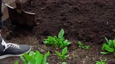 plant fertilizer : Hard spring gardening Stock Footage