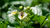 morango : Bee on strawberry flowers Stock Footage