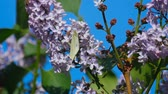 насекомые : White butterfly on lilac flowers