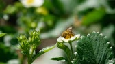 abeja y flor : Bee on strawberry flowers Archivo de Video