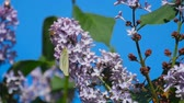 White butterfly on lilac flowers