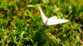 borboleta : Black Veined White butterfly