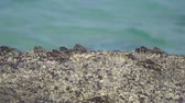 deniz yaşamı : Crabs on the rock at the beach Stok Video