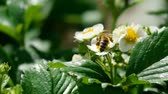 Bee on strawberry flowers Stock Footage