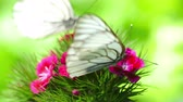 goździk : Black Veined White butterfly