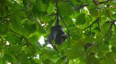 morcego : Flying fox hanging on a tree branch