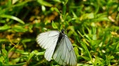 motýlek : Black Veined White butterfly