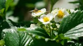 Bee on strawberry flowers Stockvideo