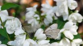 Black Veined White butterfly on Jasmine