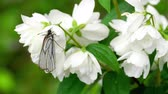 mariposas : Black Veined White butterfly on Jasmine