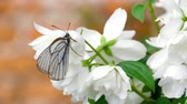 kelebekler : Black Veined White butterfly on Jasmine