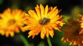 officinalis : Bee on a orange marigold
