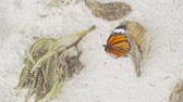 mariposas : Monarch butterfly on sandy beach