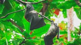 マウス : Flying foxes hanging on a tree branch and washing up