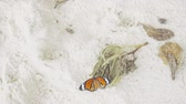 kelebekler : Monarch butterfly on sandy beach