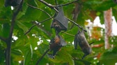 egér : Flying foxes hanging on a tree branch and washing up