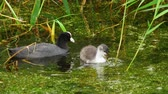 waterbird : Coot and chick swimming in pond Stock Footage