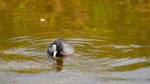waterbird : Coot swimming in pond Stock Footage