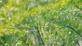 endro : Inflorescence of dill under rain