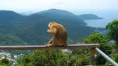 dişler : Macaque on hill of Phuket Stok Video