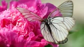 пион : Black veined white butterfly