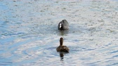 waterbird : Coot attack mallard duck Stock Footage