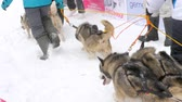 szánkó : Team of husky sled dogs with dog-driver
