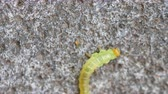 plazit se : The Birch sawfly larva crawling on the pavement Dostupné videozáznamy