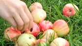 suculento : Red apples at grass in summer