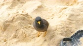 Common Myna -Acridotheres tristis-