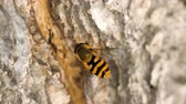 entomologia : Yellow-black hoverfly close-up