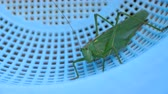 invertebrates : Big green locust female