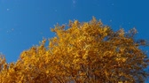 ciel orange : Autumn trees with yellowing leaves against the sky Vidéos Libres De Droits