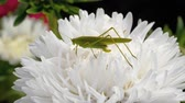 sprinkhaan : Green locust female on flower Stockvideo