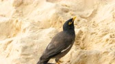 緑の目 : Common Myna -Acridotheres tristis-