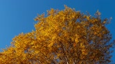 береза : Autumn trees with yellowing leaves against the sky Стоковые видеозаписи