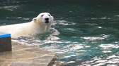 nést : Polar bear playing in water
