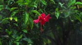 rose garden : Red hibiscus flower under rain