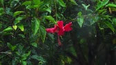 hibisco : Red hibiscus flower under rain