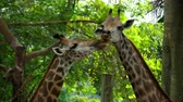 giraffe : Two Giraffes in savannah Stock Footage