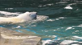 tlapky : Polar bear playing in water