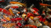 金魚 : Koi fish in pond eating. 動画素材