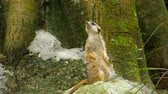 suricate : Meerkat looking out Stock Footage