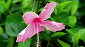 hibisco : Pink hibiscus flower after rain