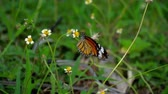 君主 : Monarch butterfly on flower