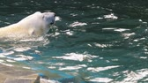 miś : Polar bear playing in water