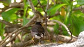 green color : Common Myna -Acridotheres tristis-